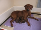 Grace (with her Oct 2009 litter to Ch Chilolo Alaska Blue)