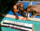Manu with his ribbons (after winning Challenge Dog at the RRCSA Champ Show)